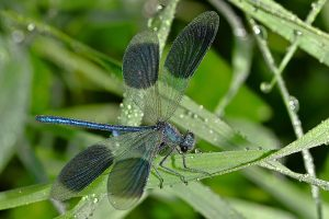dragonfly, blue-winged splendor, grass