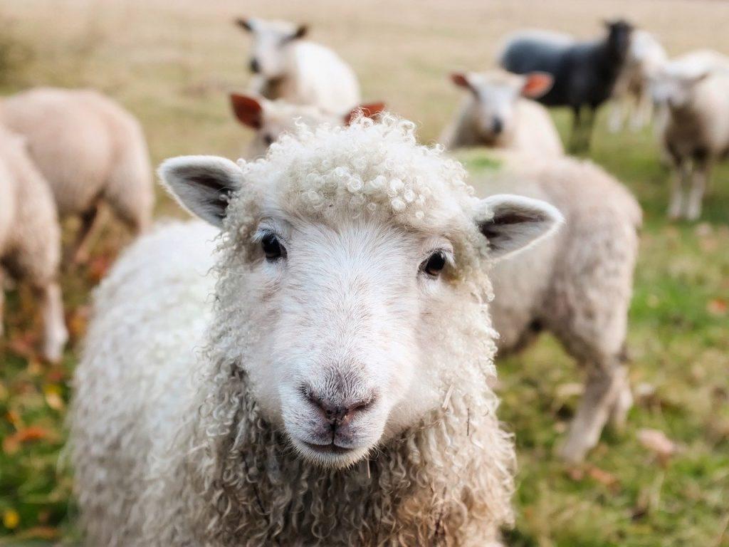 ireland, sheep, lambs